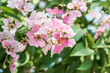 Lagerstroemia flowers with green leaves background
