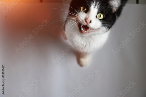 Canvas Print Little cat meows at the camera with open mouth.