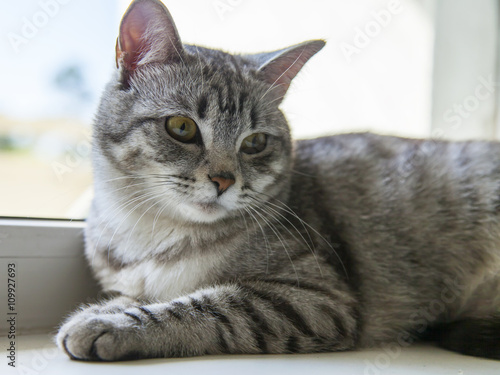 Fototapeta The attractive gray cat looks around obraz na płótnie