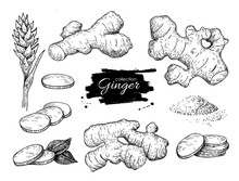 Vector Hand Drawn Ginger Set. ...