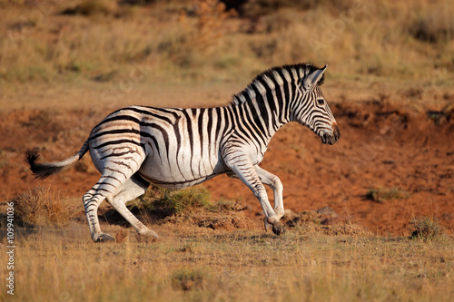 Wall Murals Zebra A running plains (Burchells) zebra (Equus burchelli), South Africa.