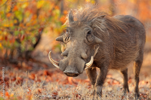 Warthog (Phacochoerus africanus) in natural habitat, Kruger National Park, South Africa Canvas Print