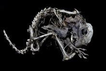 Squirrel Skeleton On Black Bac...
