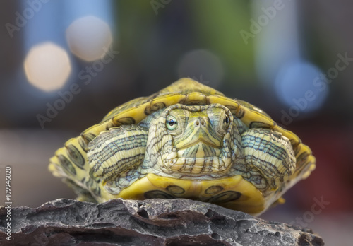 obraz dibond Turtle on a rock / Little turtle on a rock on a gray background with bokeh