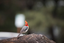 Bird Red-crested Cardinal Hawaii