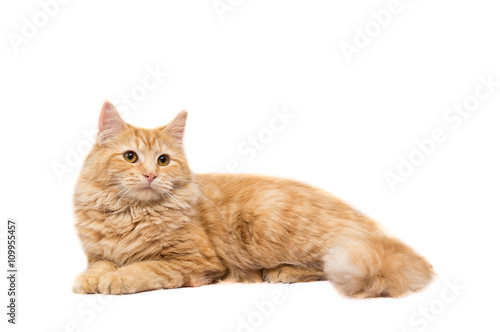 Long-Haired Orange Cat on a White Background