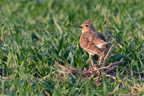 Valokuva  Feldlerche (Alauda arvensis) singt auf einem Feld im Frühling