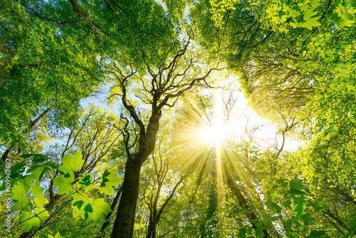 Foto op Aluminium Pistache Sonne scheint durch Baumkronen im Wald
