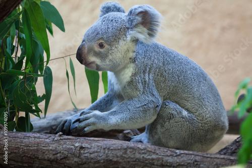 Garden Poster Koala Queensland koala (Phascolarctos cinereus adustus).
