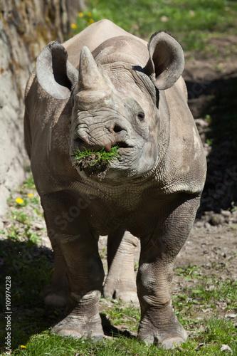 Poster Rhino Black rhinoceros (Diceros bicornis).