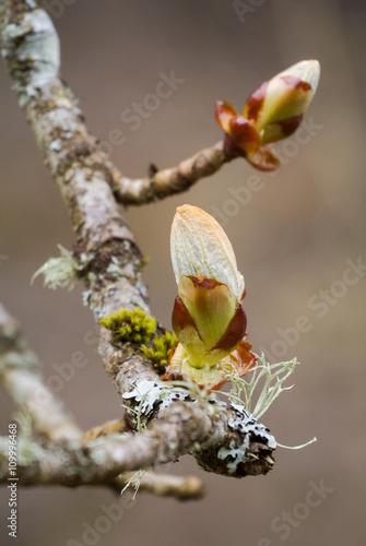 Knospen: Rosskastanie (Aesculus hippocastanum) im Frühjahr