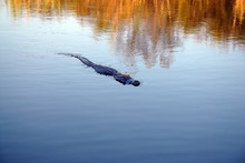 Alligator Swimming In Water