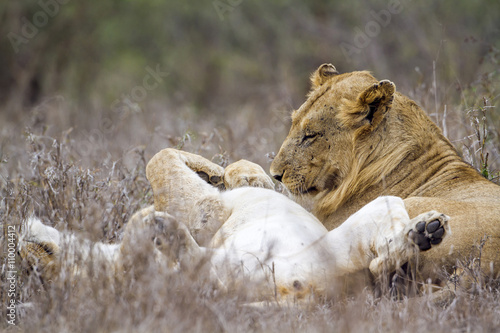 Staande foto Leeuw African lion in Kruger National park, South Africa