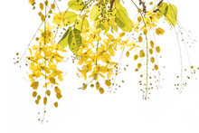 Golden Shower (Cassia Fistula), Beautiful Flower In Summer Time On White Background