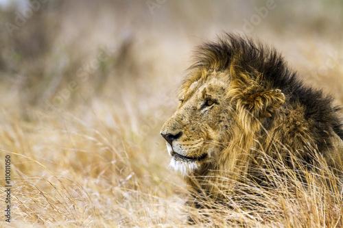 Staande foto Leeuw Lion in Kruger National park