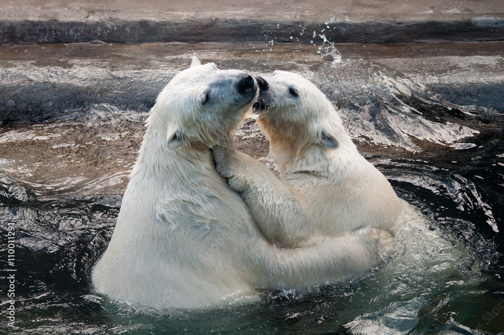 Swimming teen polar bears hugging each other in water