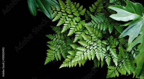 Fototapeta Green leaves fern and philodendron tropical forest plants on black background.