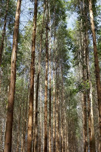 Valokuva  Eucalyptus plantation