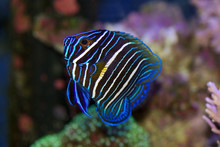 Blue Faced Angelfish, Pomacanthus Xanthometopon, Juvenile Colors But Starting To Change Into Adult Coloring