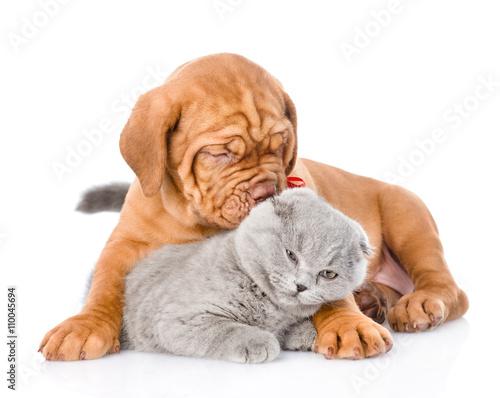 Fototapeta Bordeaux puppy dog  playing with a scottish cat. isolated on whi obraz na płótnie
