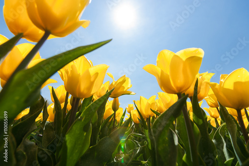 Poster Tulip Field with yellow tulips and bright sunny atmosphere