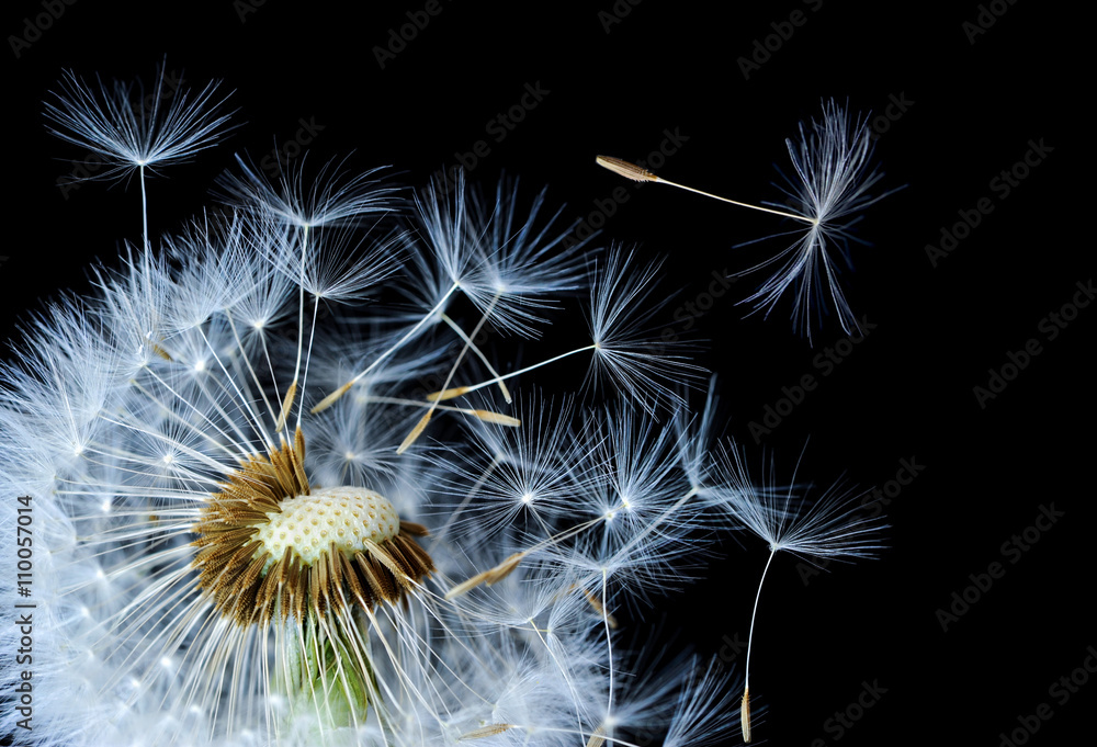 Fototapety, obrazy: Dandelion blowing in black background