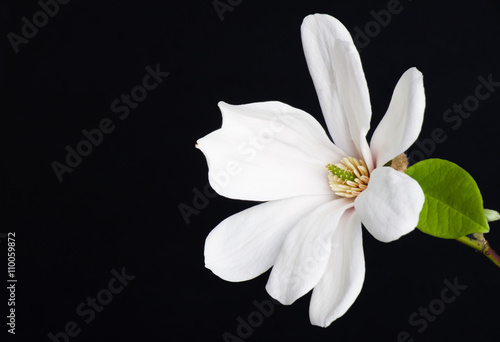 Fototapety, obrazy: white magnolia flower close-up.