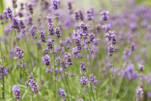 Aromatyczna lawenda rosnąca na łące - 110070224