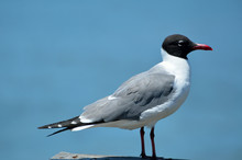 Laughing Gull On A Fishing Pier