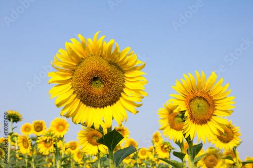 In de dag Zonnebloem Sunflower with blue sky