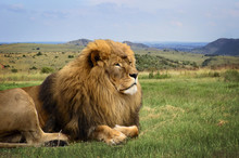 A Beautiful Lion Is Resting In...