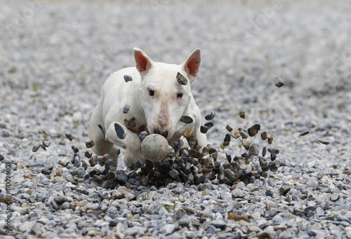 Stampa su Tela Bull terrier sliding through the rocks to get a ball