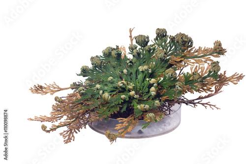 Selaginella lepidophylla (syn. Lycopodium lepidophyllum) is a sp