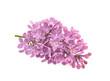 Spring flower, twig purple lilac. Syringa vulgaris.