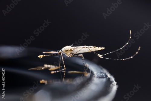 Photo Newborn anopheles dirus mosquito