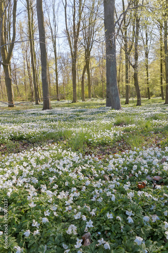 Photographie  Thousands of wood anemone in the beech forest