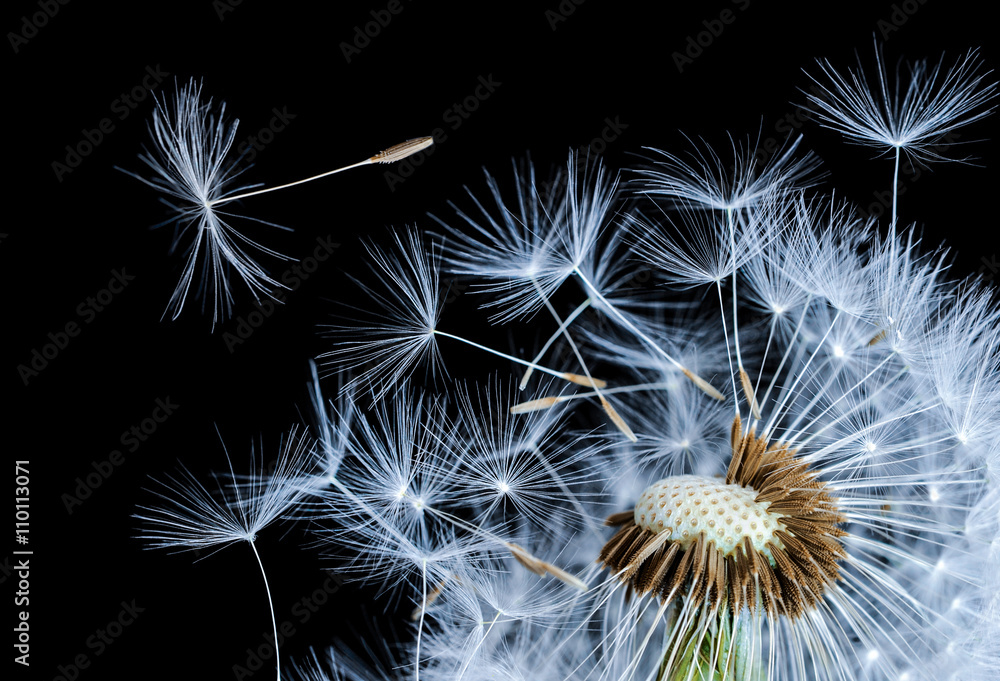 Fototapety, obrazy: Dandelion blowing