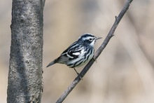 Black And White Warbler Bird Perched On A Tree Branch During Spring Migration