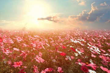 Fototapeta Vintage Landscape nature background of beautiful pink and red cosmos flower field with sunshine. vintage color tone