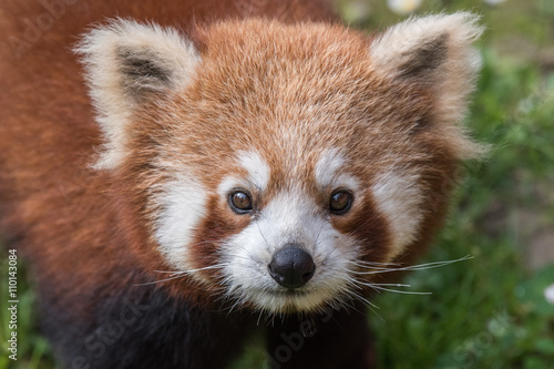 Vászonkép red panda close up portrait