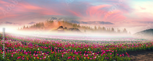 Photo Stands Light pink Tulips in the Carpathian region