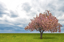 Cherry Tree.Blooming Cherry Tree Blossom At Spring In A Field Of Green Grass.