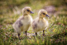 Two Goslings Canada Geese, One...