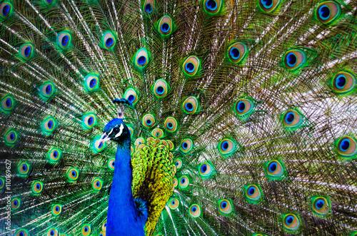 Foto op Plexiglas Pauw beautiful peacock