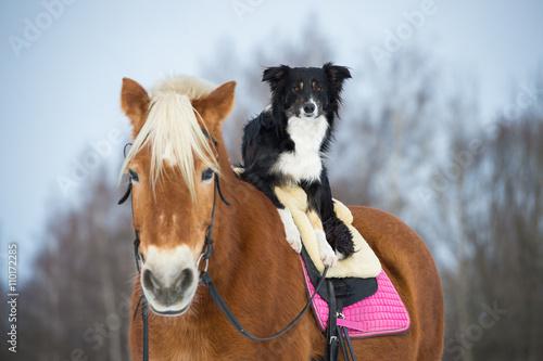 Fotobehang Honden Draft horse and black tricolor border collie dog