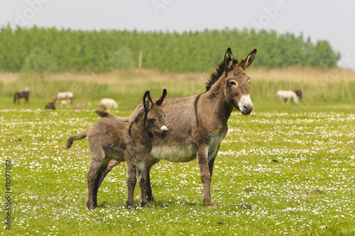 Papiers peints Ane Mother and baby donkeys