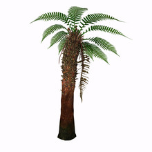 Dicksonia Tree - Dicksonia Antarctica (Tasmanian Tree Fern) Is A Slow Growing Tree Fern That In Time Will Reach 15 Feet Tall With A Possible 6-10' Spread.