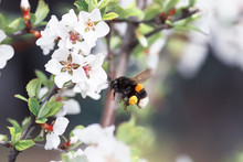 Shaggy Bumblebee Circling And Flying Over A Blossoming Apple Tree In Spring