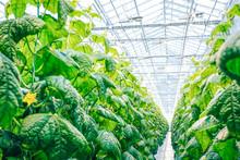 Cucumber In Modern Greenhouse Close Up