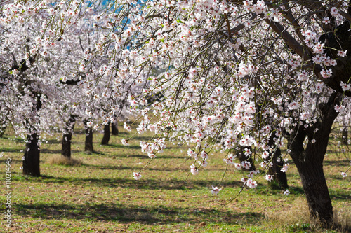 Valokuva  The blossoming almond trees in full bloom